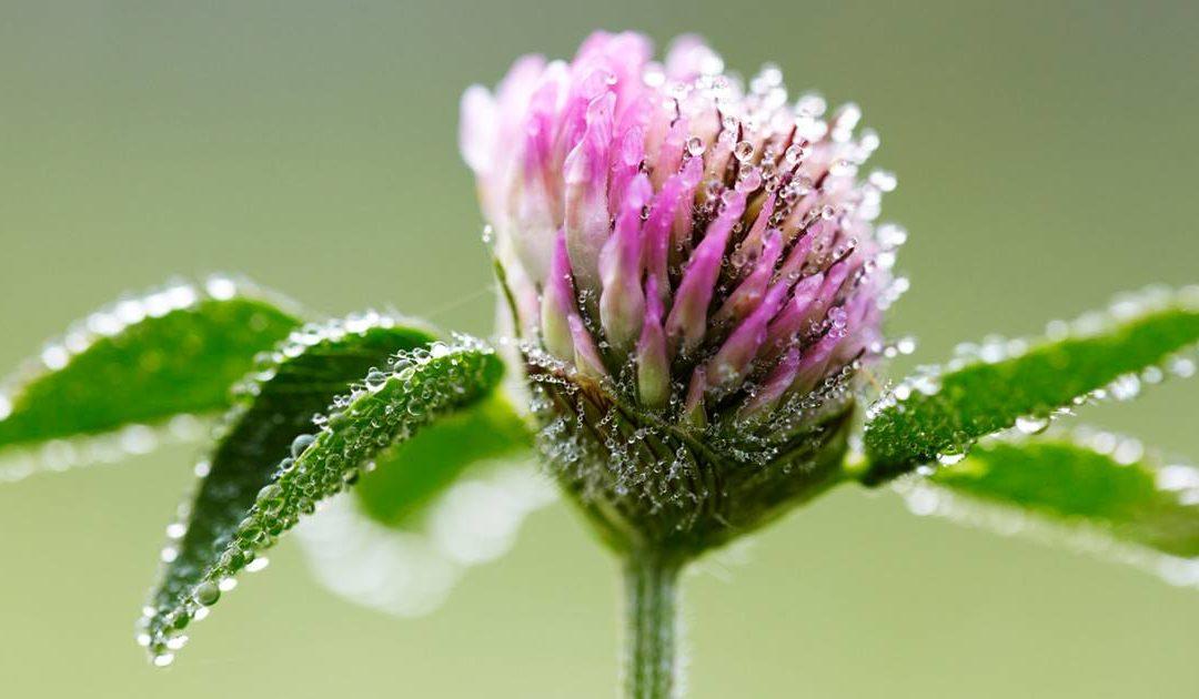 5 plantas naturales para la menopausia